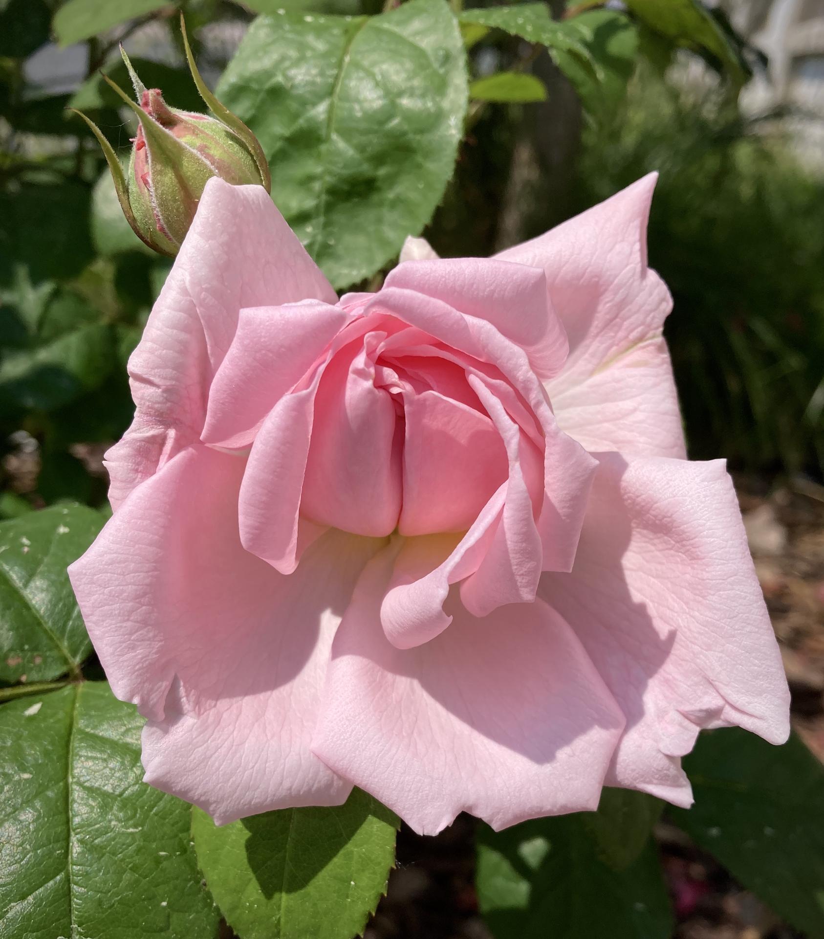 Zahrada 2021 - Vitez letosniho zavodu o prvni kvet sezony- Eglantyne ❤️