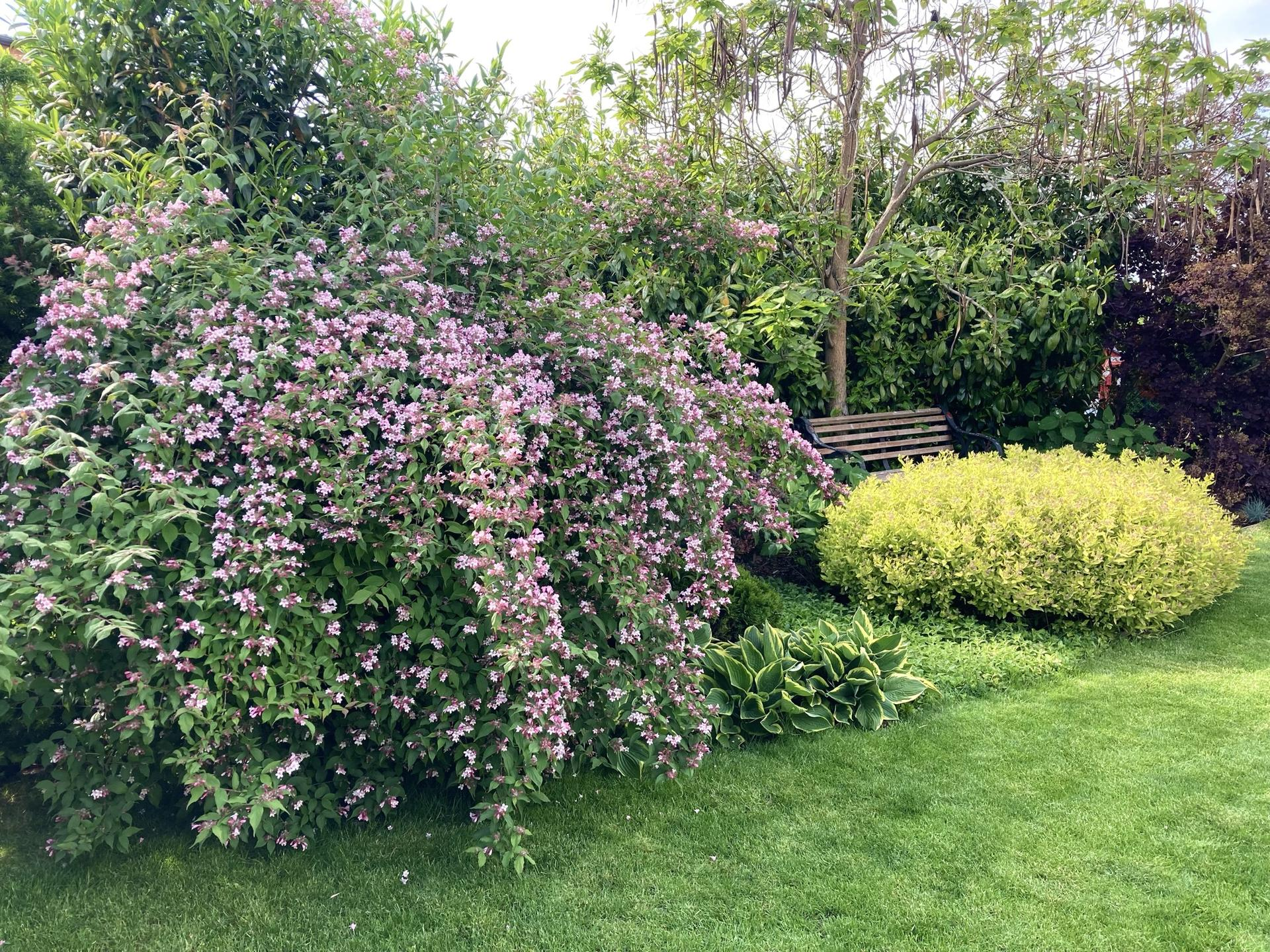 Zahrada 2021 - Kolkwicie krasna v kvetu