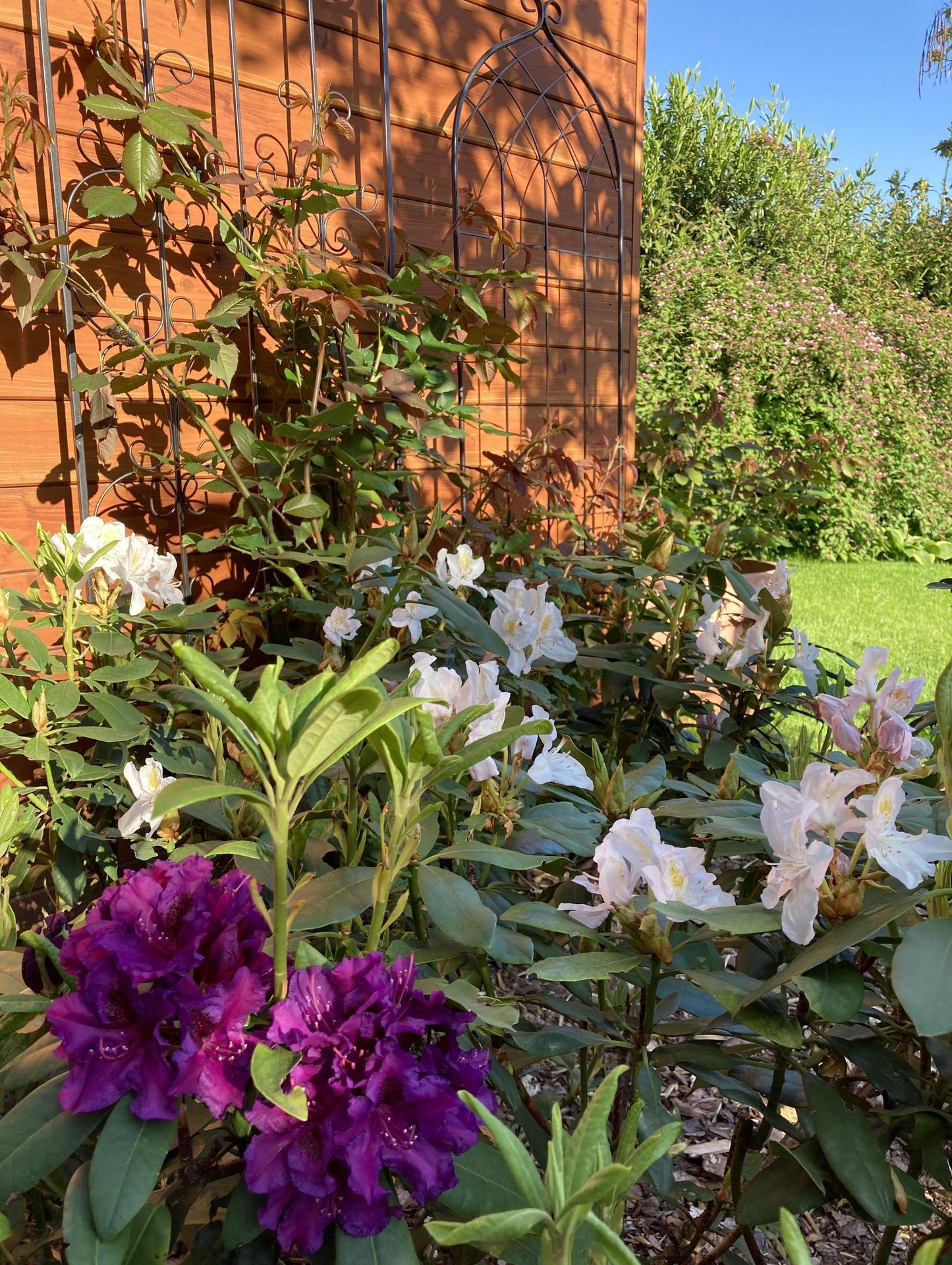 Zahrada 2021 - Popinave ruze se letos  cini- pote, co dostaly oporu....