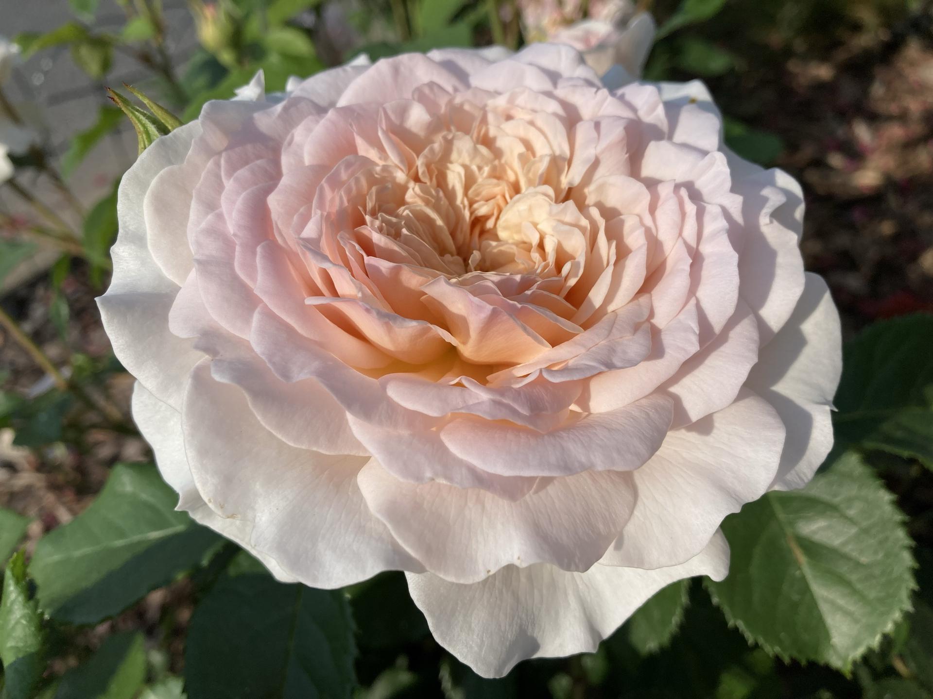 Zahrada 2021 - Emily Brönte, novinka od podzimu, se ma uzasne k svetu! Ta jeji maslova barva a intenzivni vune me fascinuji❤️!