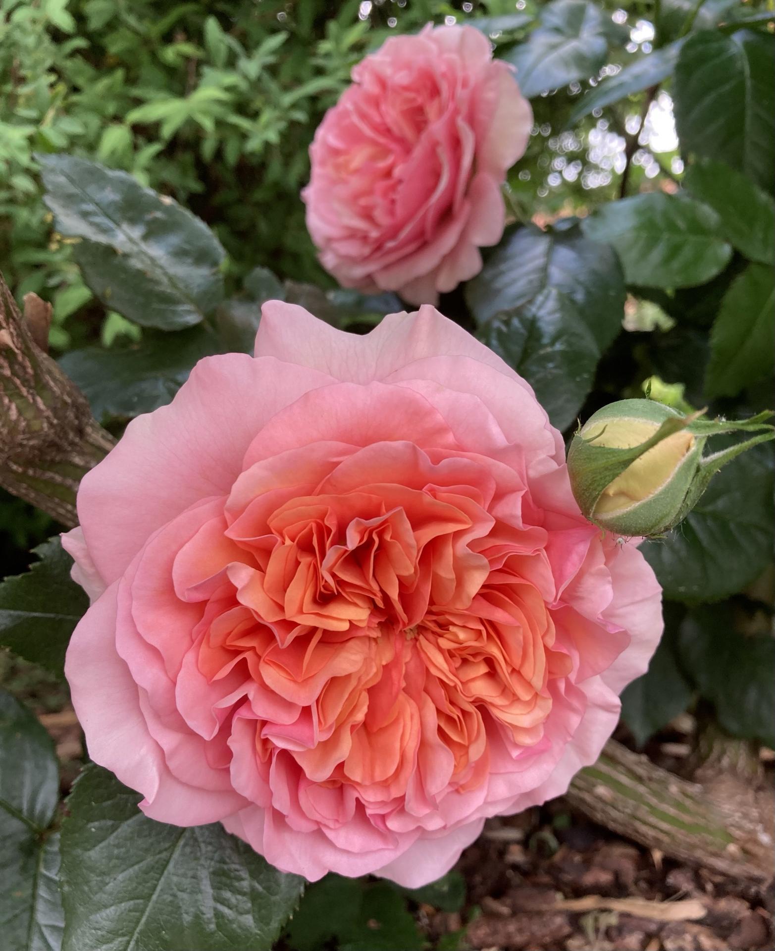 Zahrada 2021 - Chippendale a jeho prvni dva letosni kvety... statecne bojoval s Eglantynou o letosni prvenstvi a skoncil na skvelem druhem miste ❤️
