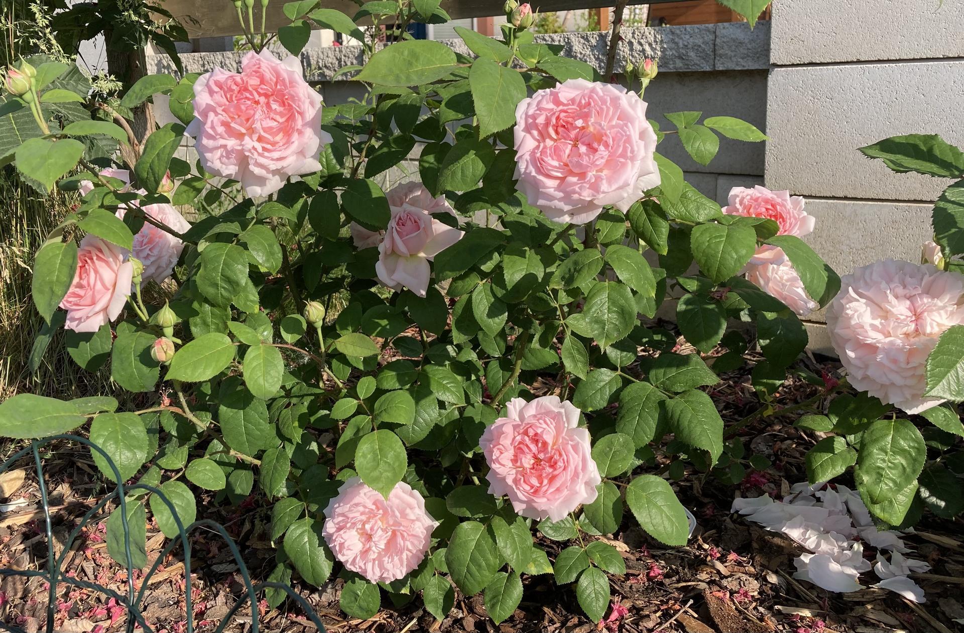 Zahrada 2021 - Eglantyne, taky novacek v zahrade, a letos uplne prvni rozkvetla ruze👍!
