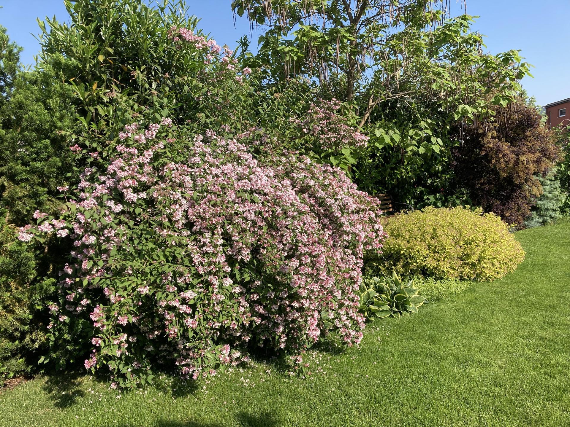 Zahrada 2021 - Kolkwitzie krasna v plnem kvetu