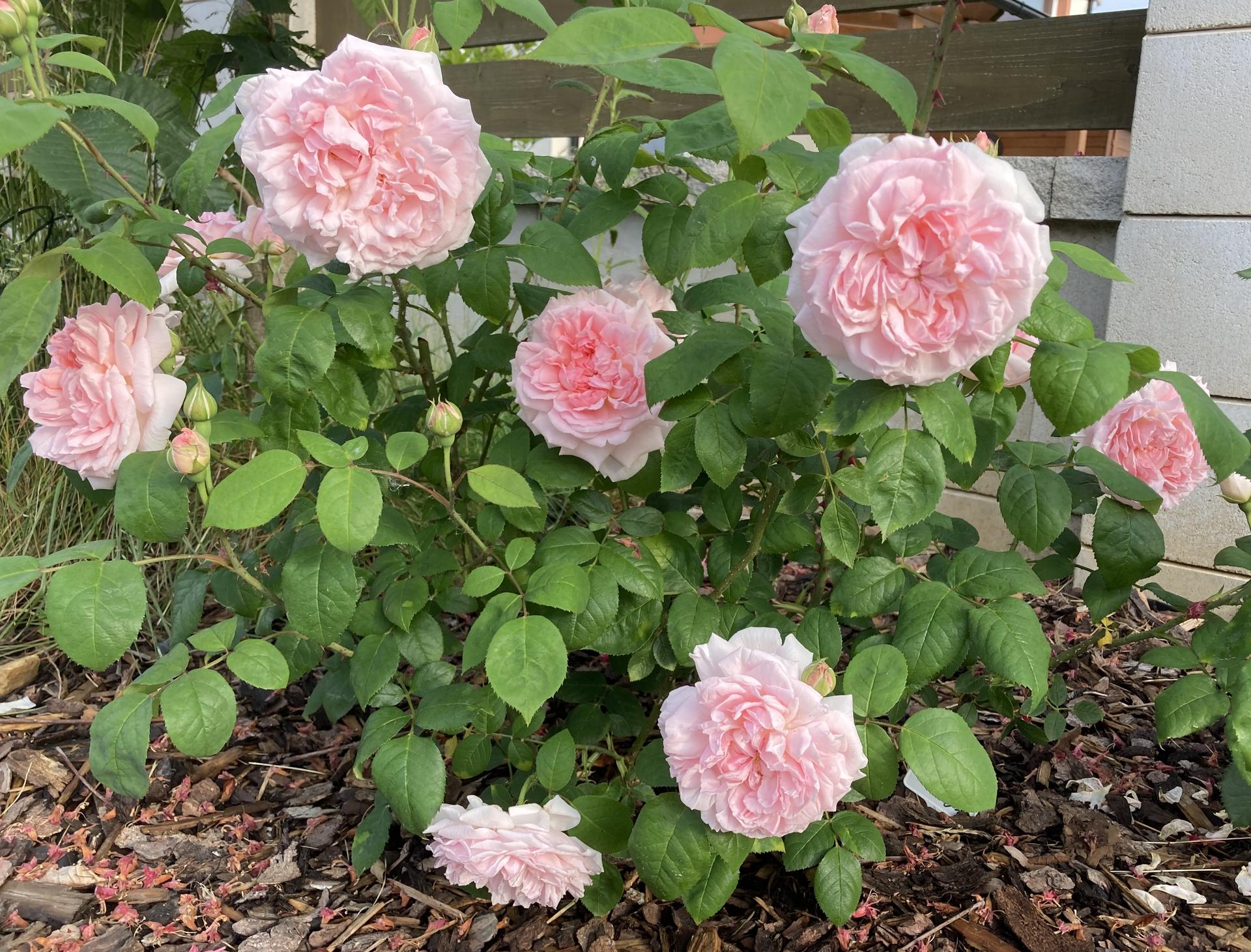 Zahrada 2021 - Eglantyne... sazena teprve v listopadu, ale krasne prezimovala a prestoze je jeste malinka, kvety ma jako hrom ❤️