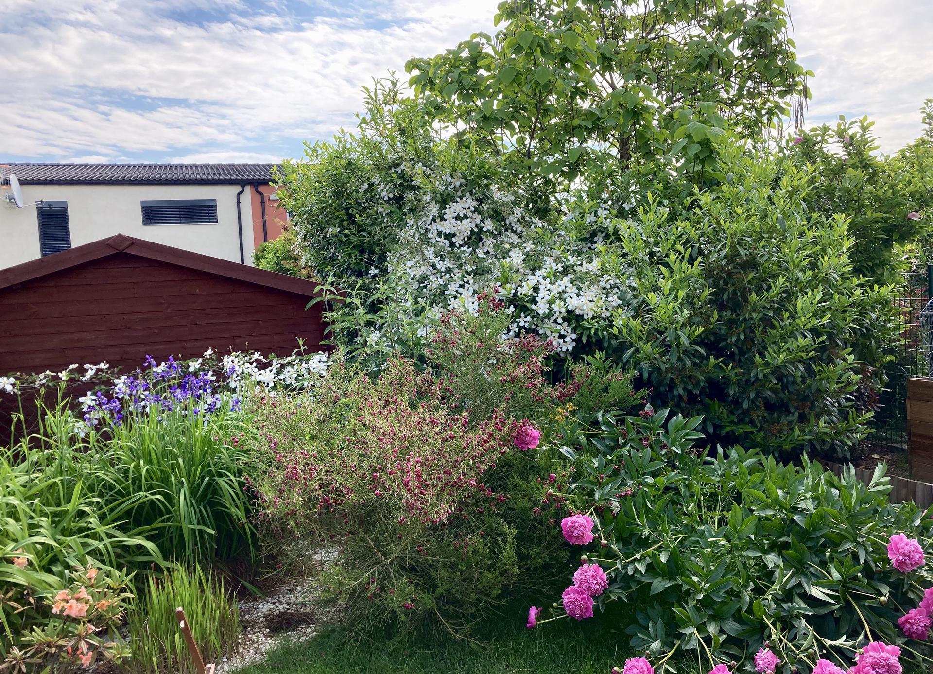Zahrada 2021 - Jak nas clematis kvete u sousedu 😃... dneska jsem si ho k nim sla vyfotit🤪. Nas domecek je ten malinky cerveny kousek za stromem ( coz je nase katalpa)