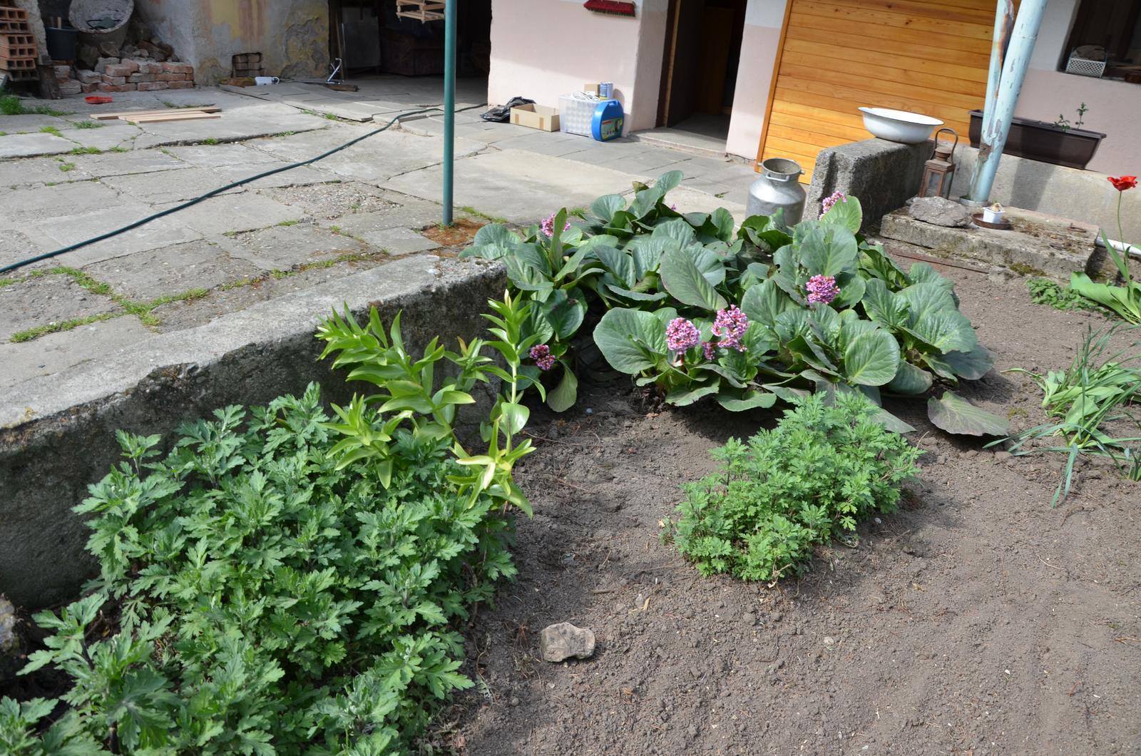 Vysněná zahrada... - zatím o tom vím prdlajs, ale měly by to být chryzantémy, nějaké lilie a bergenie....?