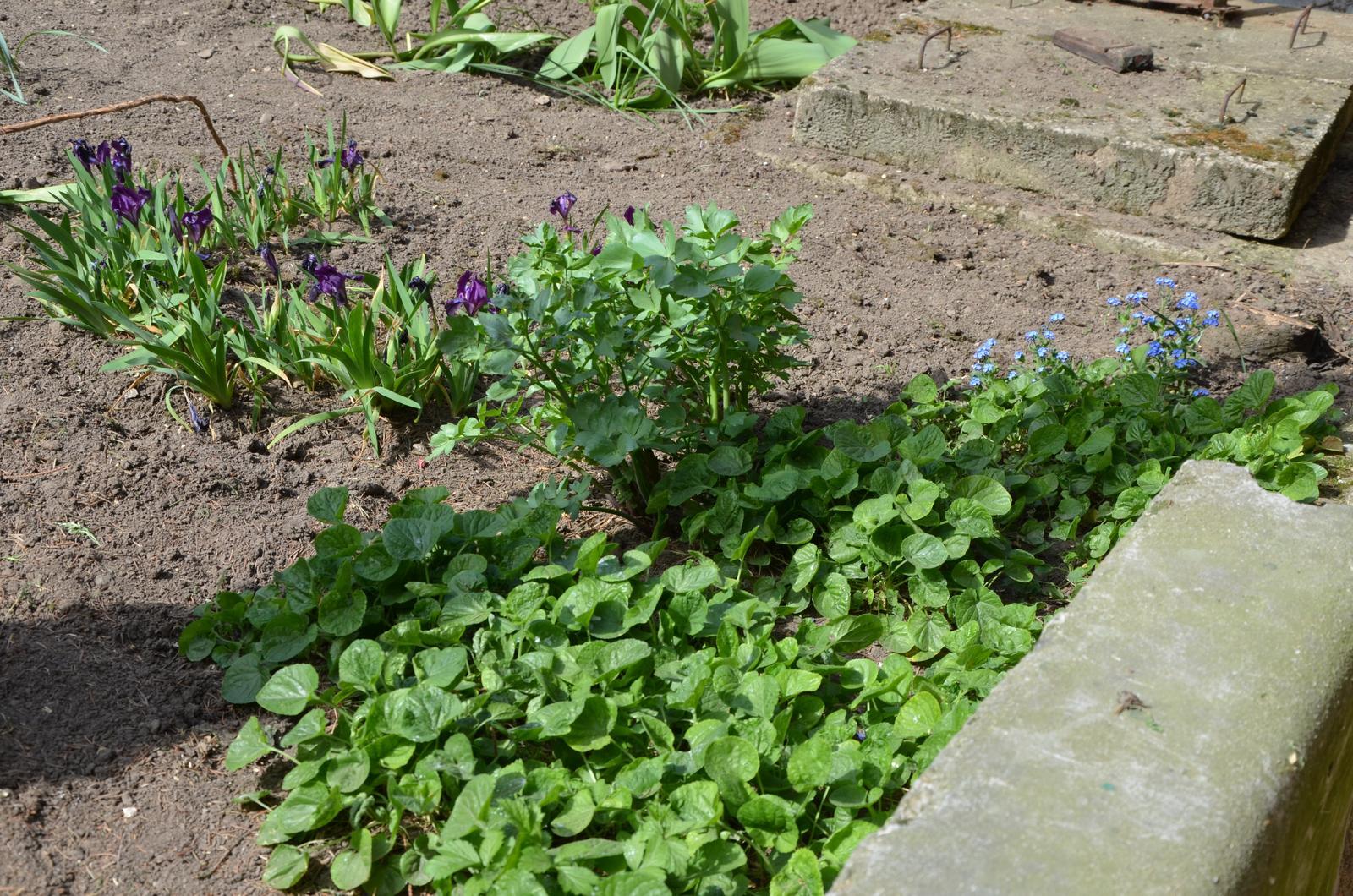 Vysněná zahrada... - odkvetlé fialky, pomněnky, kosatce a ušlápnutý libeček