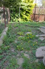 za hnojníkem...spousta jahod, pampelišek a plevele...a vzadu jsem objevila levanduli!
