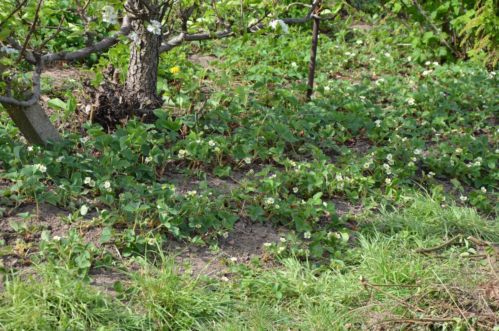 Vysněná zahrada... - pod hrušní opět jahody...tyhle už jsem se pokusila aspoň trochu čistit