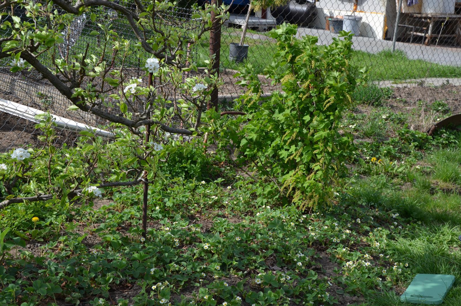 Vysněná zahrada... - vedle hrušně rybíz, prý červený, velmi starý a dobře plodí
