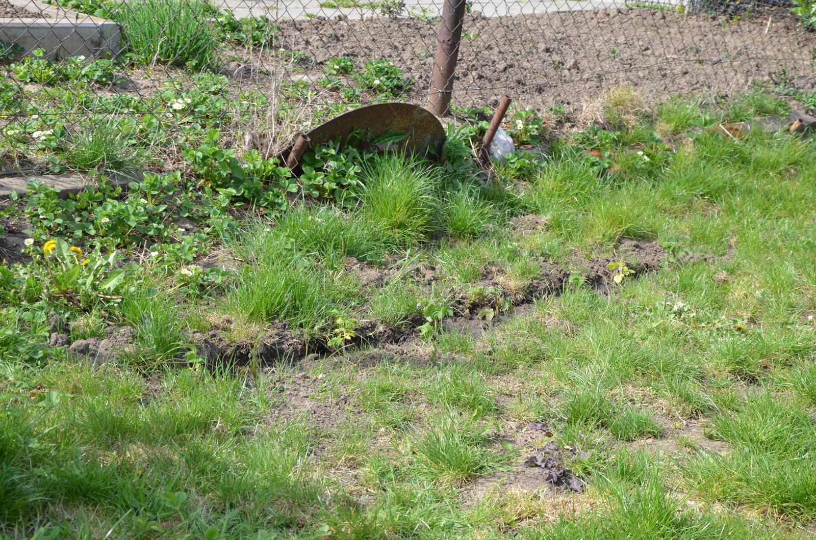Vysněná zahrada... - a vedle rybízu opět nově vysazené malé maliny