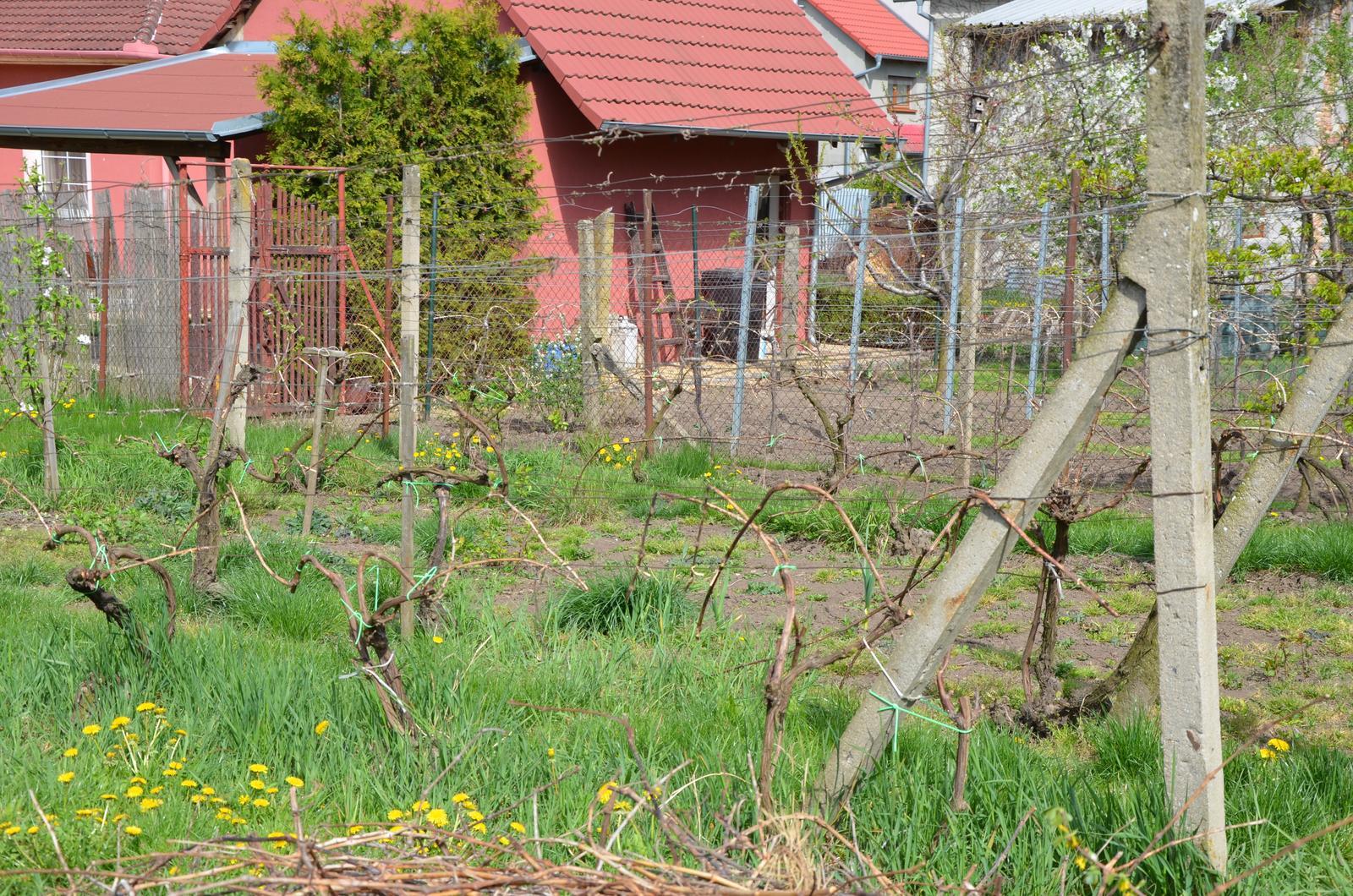 Vysněná zahrada... - vinohrad, už ostříhaný a vyvázaný
