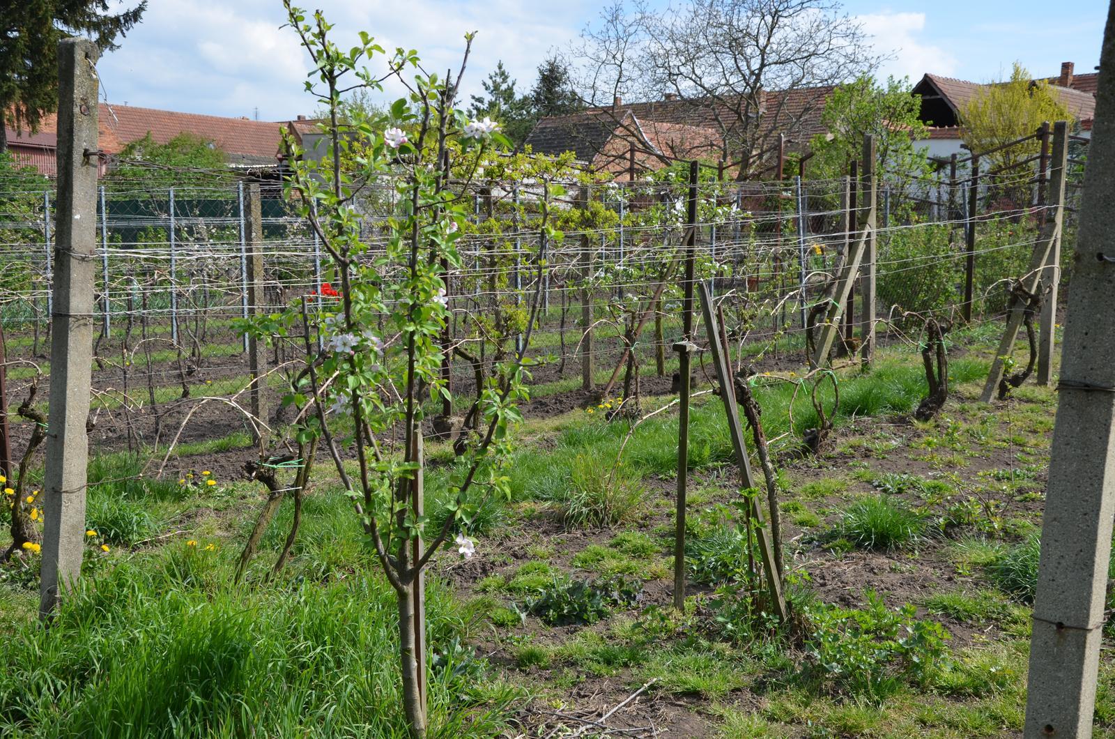 Vysněná zahrada... - dva a dva řádky, mezi nimi malá jabloň a zdechlý angrešt...uvidíme, jestli plodí či ne
