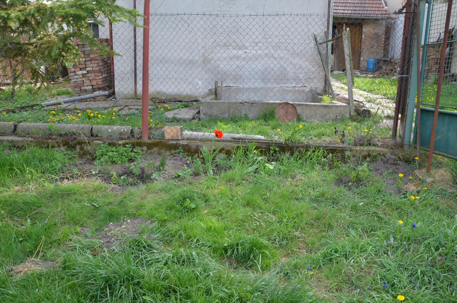Vysněná zahrada... - u plotu mezi zahradou a sklepem se nachází opět změť plevele, pampelišek, nějakého toho tulipánu, taky je tam meduňka, kousínek petržele a oregáno...a my jsme tam vysadili ostružiny