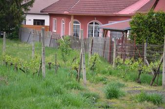 Vinohrad už se zelená...