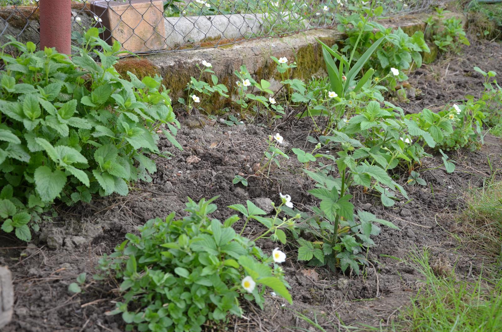 Vysněná zahrada... - Směska...oregano, meduňka, zasazená ostružina...a zase ty jahody...