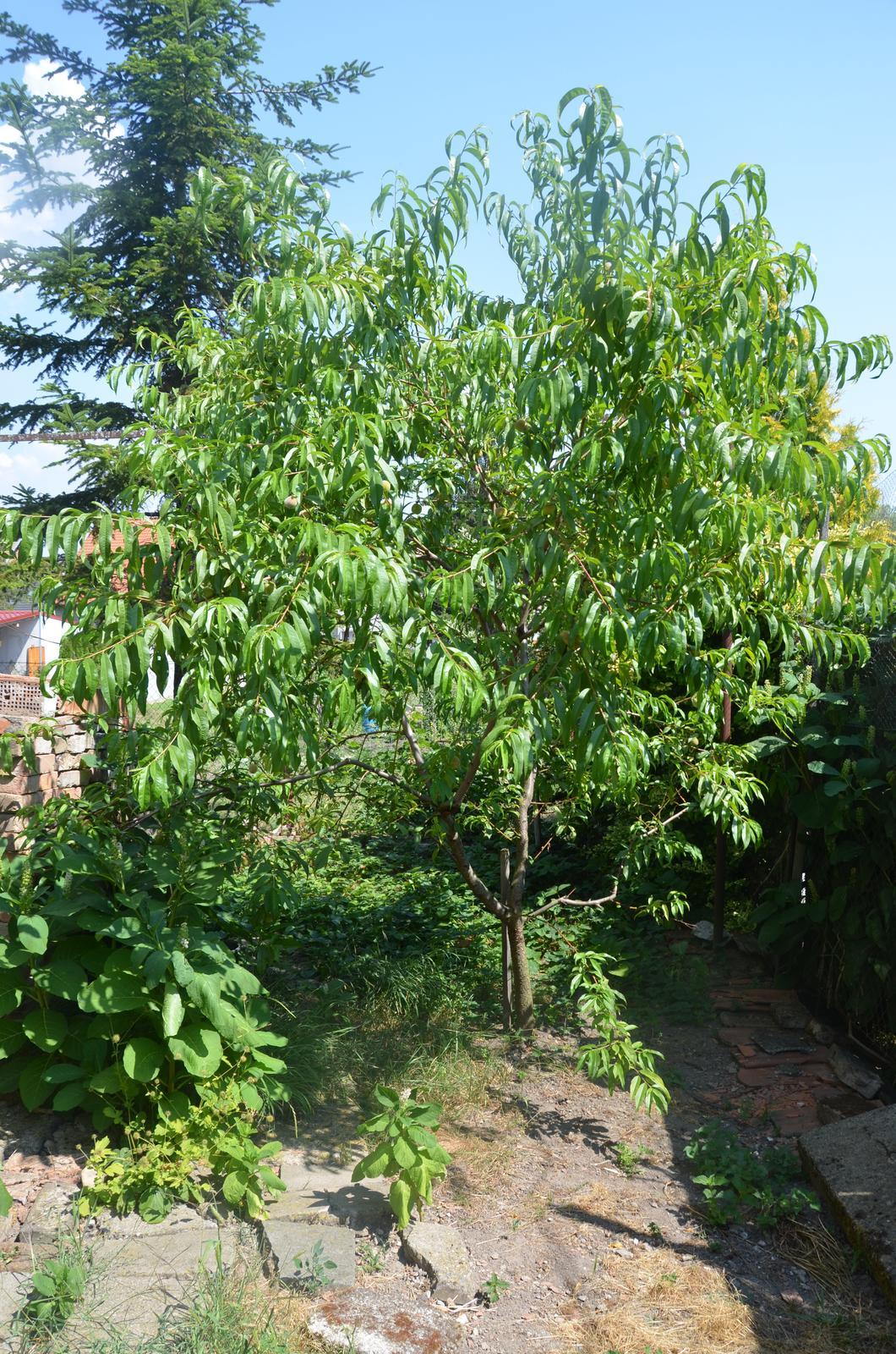 Vysněná zahrada... - Pravokořenná broskvička...s kadeřavostí se poprala a broskviček je spousta, i když malinkých