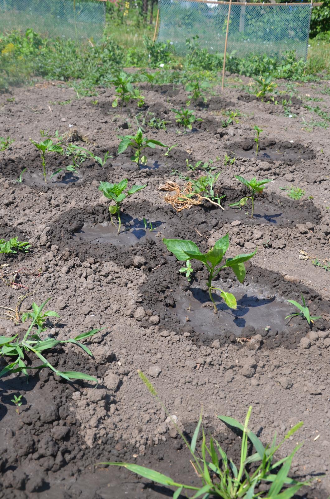 Vysněná zahrada... - male papriky, ze kterych asi nic nebude...