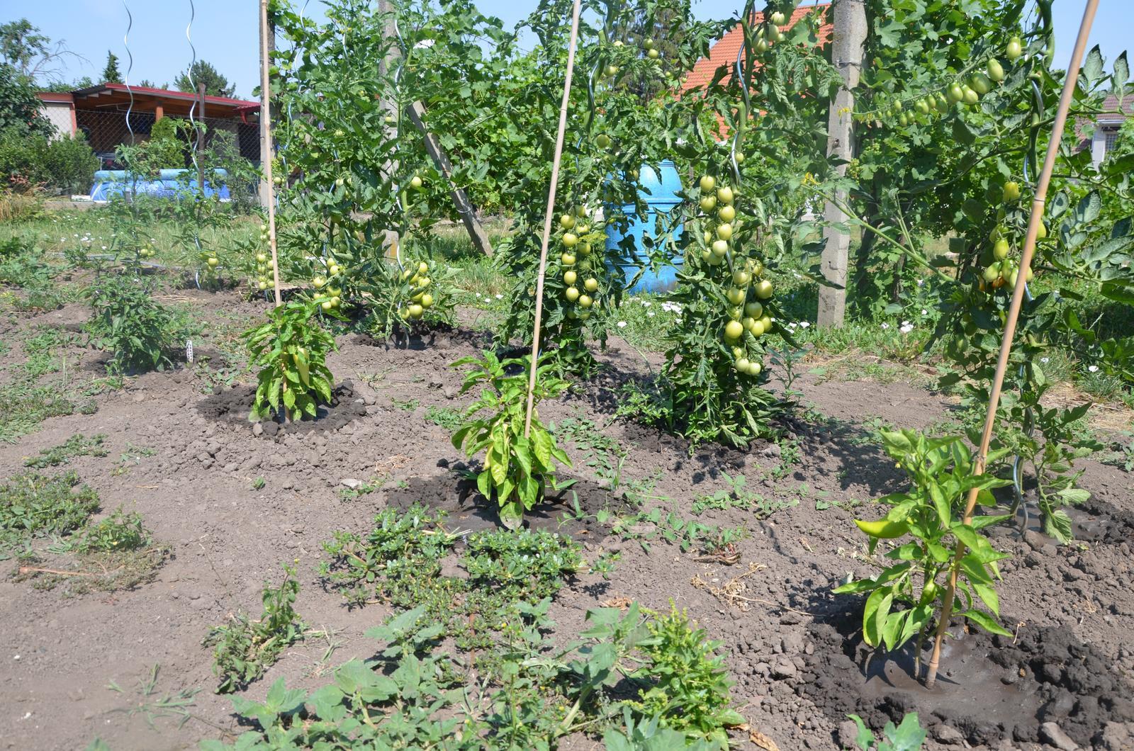 Vysněná zahrada... - větší papriky a rajčata