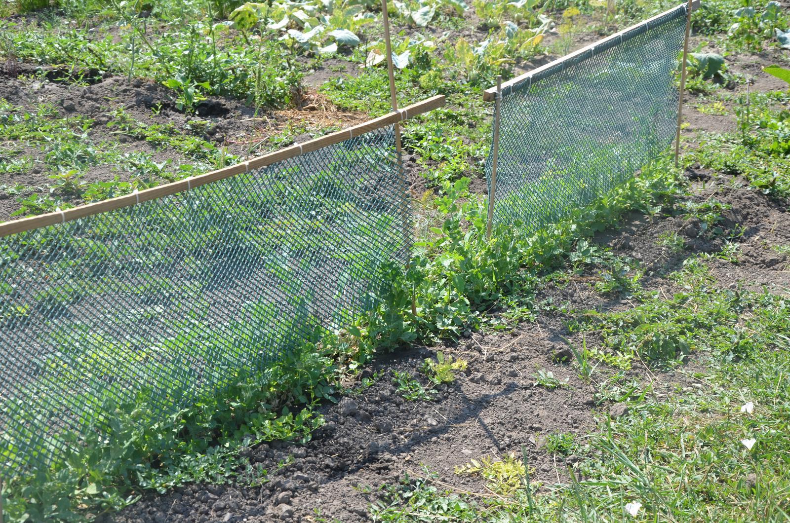 Vysněná zahrada... - druhý hrášek