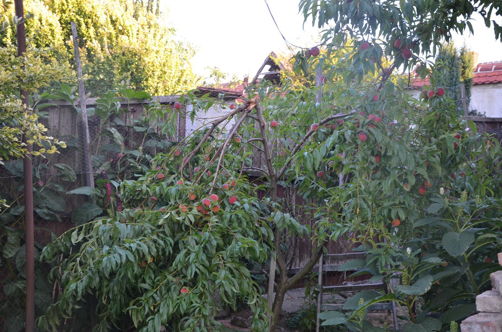 Vysněná zahrada... - broskvička se bohužel pod tíhou úrody ve větru zlomila