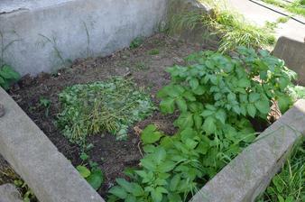 Z kompostu už je letos záhon...omylem vyklíčeným bramborám jsme dali zelenou, přisadili dýně hokaido, kukuřici, okurky, meloun....tak uvidíme, co vyroste:-)