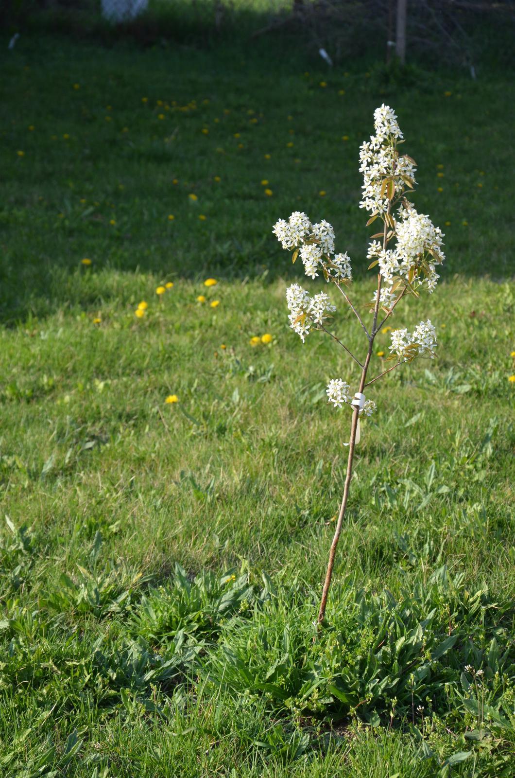 Vysněná zahrada... - spodní muchovníček