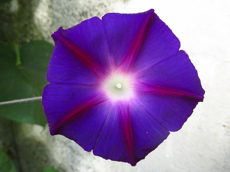 Povojník purpurový - Obrázok č. 1