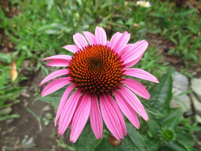 Echinacea purpurová a žltá - Obrázok č. 1