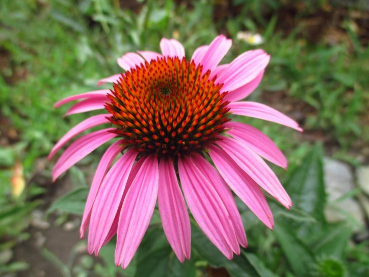 Echinacea purpurová a žltá - Obrázok č. 2