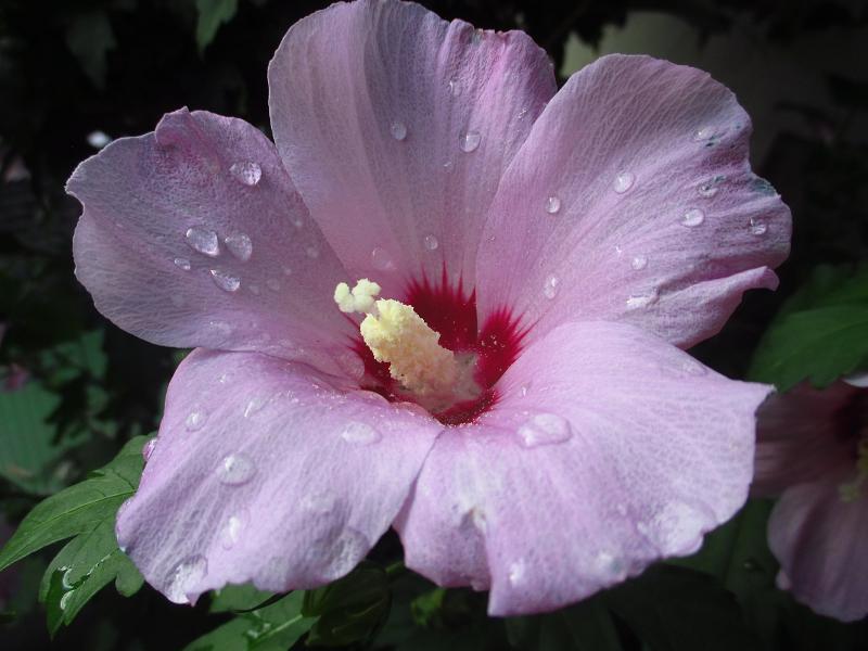 Ibištek sýrsky fialový - sadenice - Obrázok č. 1