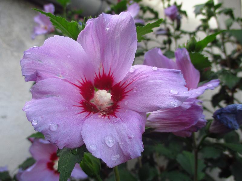Ibištek sýrsky fialový - sadenice - Obrázok č. 2