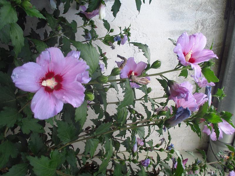 Ibištek sýrsky fialový - sadenice - Obrázok č. 3