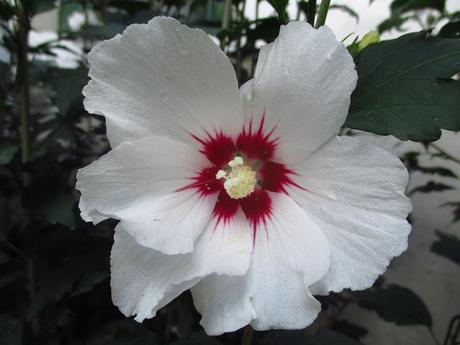 Ibištek sýrsky biely - sadenice - Obrázok č. 1