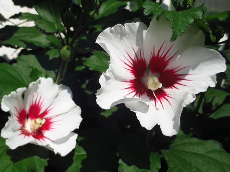 Ibištek sýrsky biely - sadenice - Obrázok č. 2