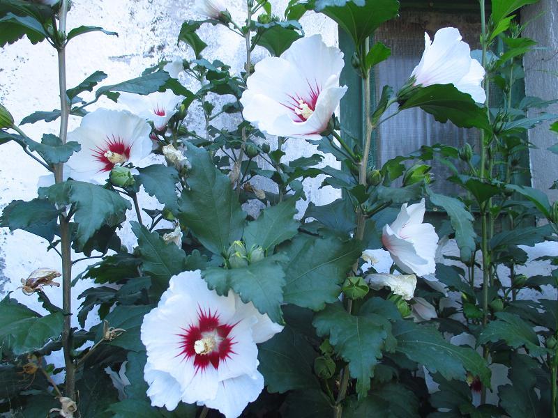 Ibištek sýrsky biely - sadenice - Obrázok č. 3