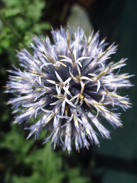 Echinops banaticus (ježibaba modrá) - semienka aj sadeničky - Obrázok č. 1