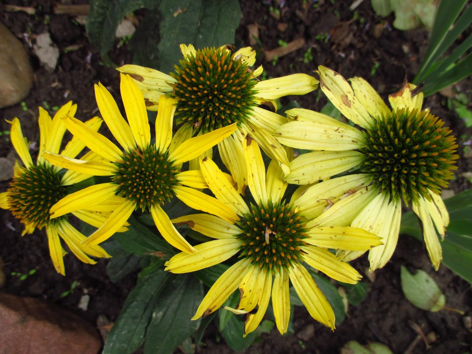 Echinacea purpurová a žltá - Obrázok č. 4