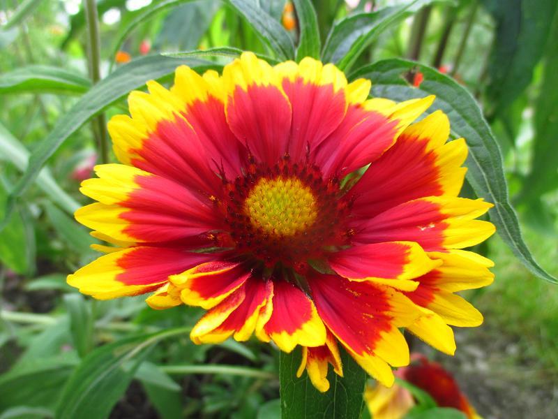 Kokarda veľkokvetá - semienka aj sadeničky - Obrázok č. 1
