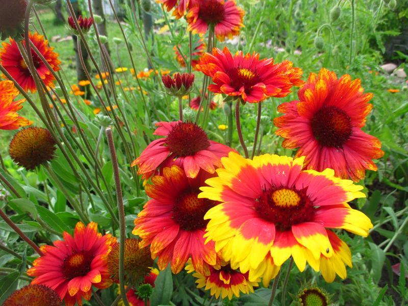 Kokarda veľkokvetá - semienka aj sadeničky - Obrázok č. 2