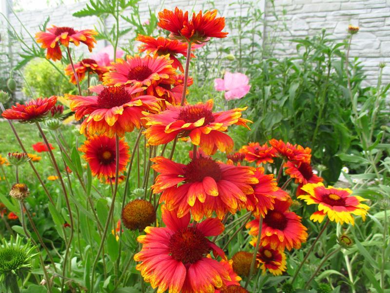 Kokarda veľkokvetá - semienka aj sadeničky - Obrázok č. 4