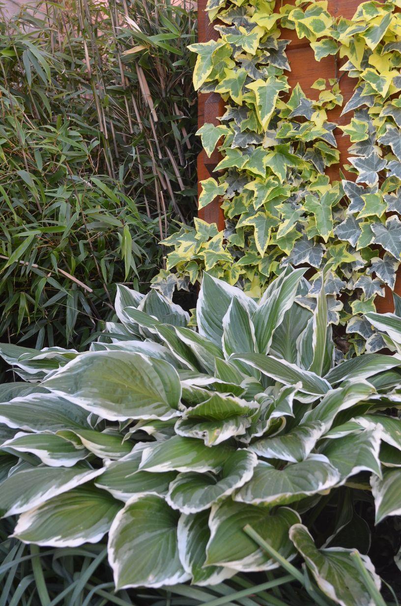 Bambus Phyllostachys - Obrázok č. 1