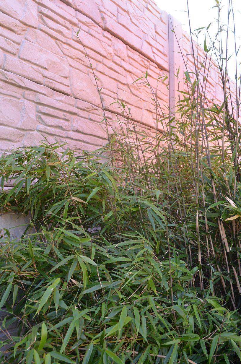Bambus Phyllostachys - Obrázok č. 2