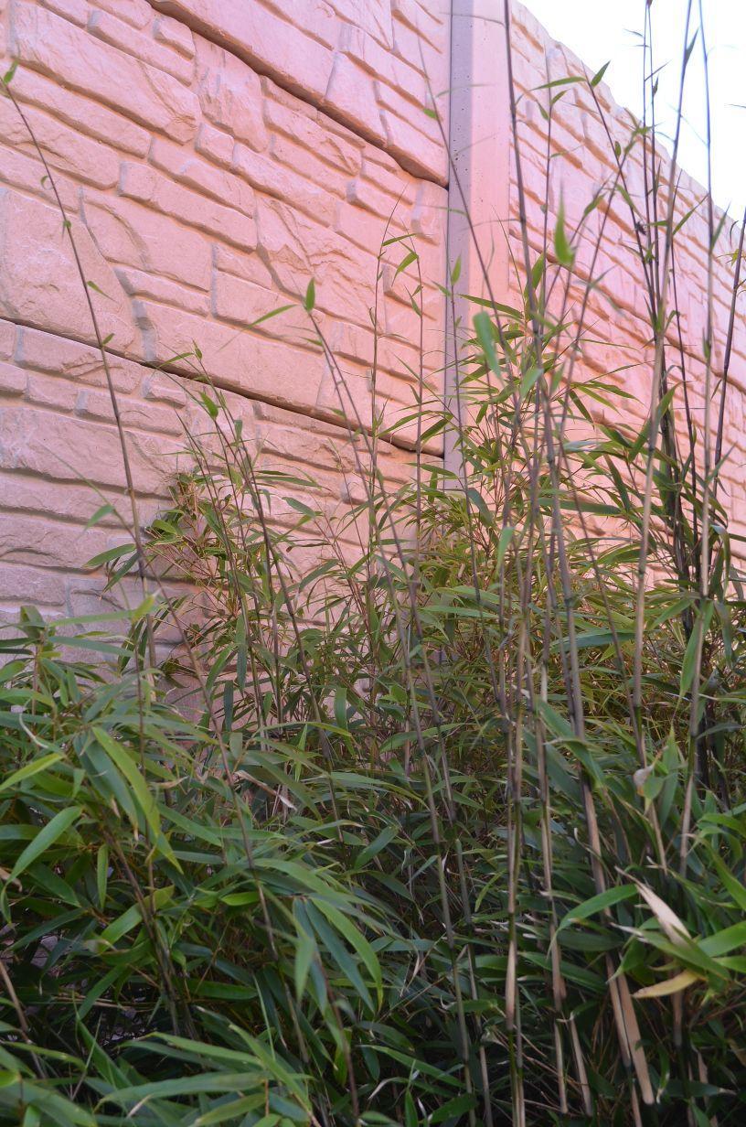 Bambus Phyllostachys - Obrázok č. 3