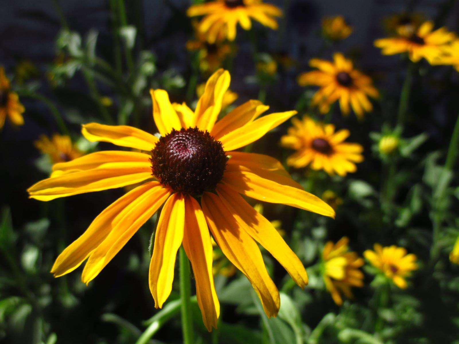 Kvitnúce trvalky - semienka a sadenice - Obrázok č. 1