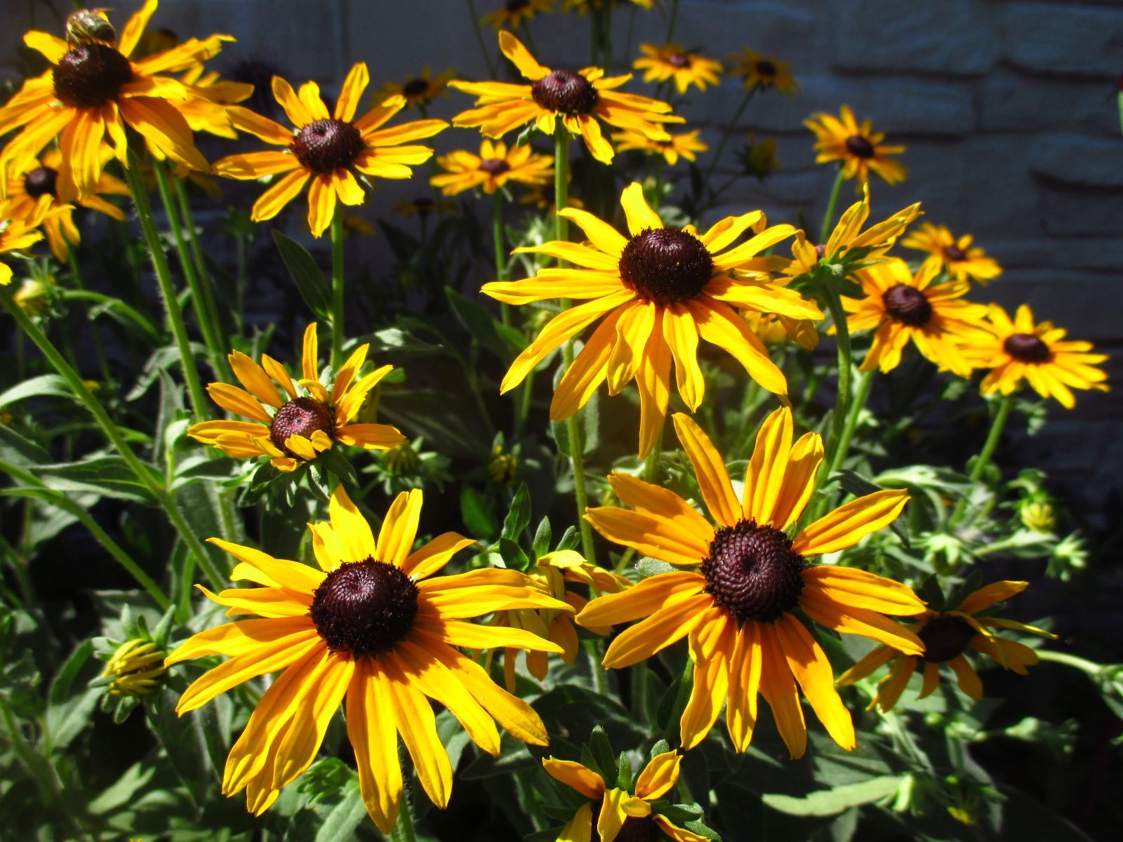Kvitnúce trvalky - semienka a sadenice - Obrázok č. 2