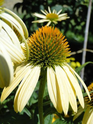 Kvitnúce trvalky - semienka a sadenice - Obrázok č. 4