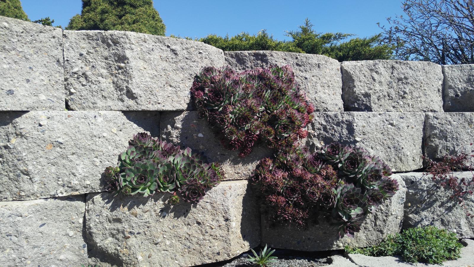 07 Vegetačný oporný múr sa na jar prebúdza ( rozšírené 19.6.2020 ) - 2017 03 28 Skalné ruže sa minulý rok pekne rozrástli bude ich potrebné znovu preriediť