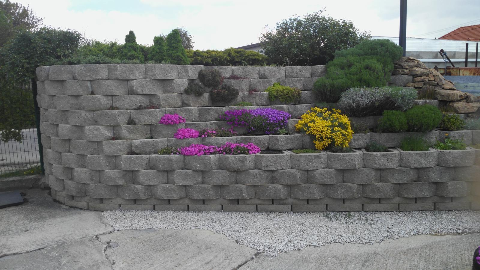 07 Vegetačný oporný múr sa na jar prebúdza ( rozšírené 19.6.2020 ) - 2017 04 19 Zazeleneli sa aj ružové kríky a levandula výrazne zmohutnela