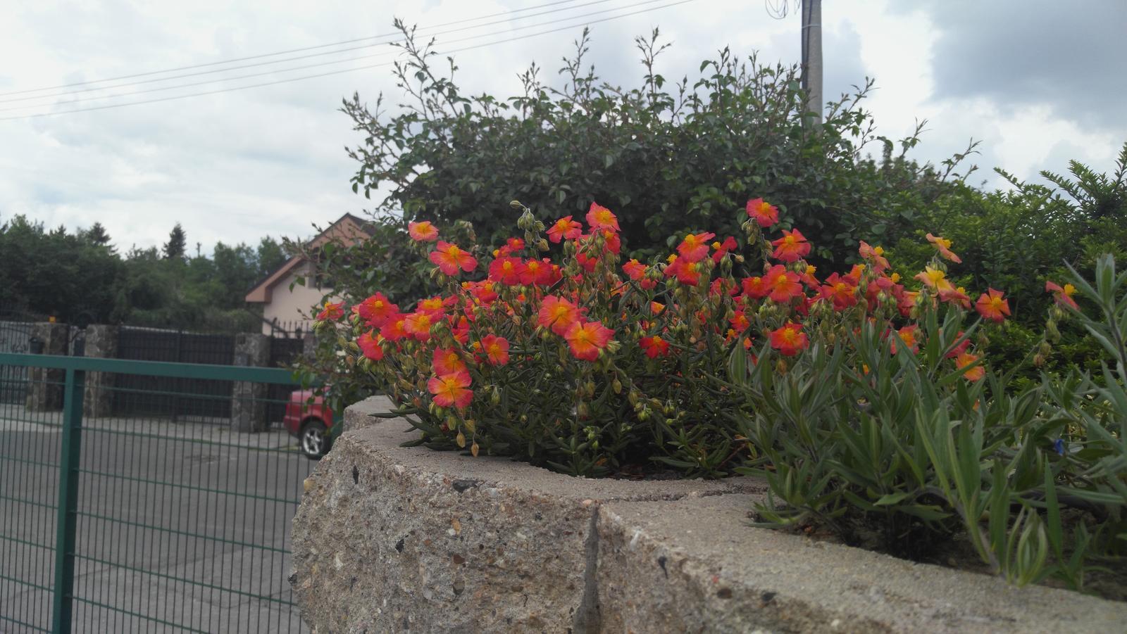07 Vegetačný oporný múr sa na jar prebúdza ( rozšírené 19.6.2020 ) - 2017 05 22 Rozkvitnutá ľavá horná časť múru, ruže v pozadí už čoskoro zakvitnú.